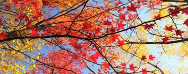 Red and yellow leaves, blue sky